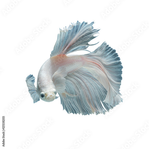 white fighting fish isolated on black background, This has clipping path Poster