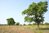 Shea tree,  Kukua Ghana