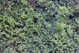 beautiful texture of coniferous juniper twigs with small green n