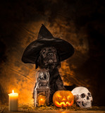 Halloween dog with wizard hat and  Pumpkins, still-life background.