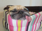 Fototapety Close up face of cute funny puppy pug dog sleep rest on pillow bed with tongue sticking out in lazy time.