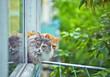 siberian grey cat sitting on the window sill - 121383259
