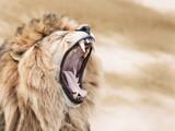 Vicious lion