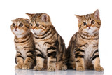 Three kittens sitting on a white background