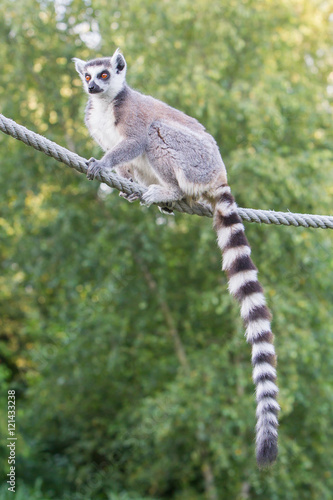 Ring-tailed lemur (Lemur catta) Poster