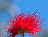 fiore di metrosideros