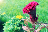 Pink comb celosia flower on background of green grass