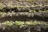 ゴマの芽の出て来た畑