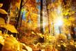 Strahlender Herbst im Wald mit viel Sonne und gold leuchtenden Blättern