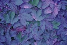 Beautiful purple colored autumn season maple leaves background.