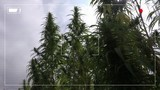 Fake police camera low quality footage of illegal marijuana plantation, recording frame added in post production
