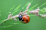 Ladybug, ladybird, eating moth eggs on aspargus