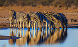 Zebras drink at dawn
