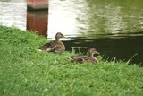 Ducks on the river bank 3
