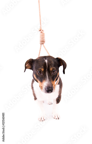 Jack Russell Terrier with a loop on a white background Poster