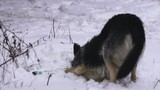 homeless not purebred dog rolling enjoying snow