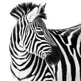 Zebra in Snow II - 121577688