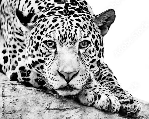 Jaguar IV