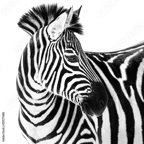 Fototapeta Zebra in Snow II