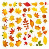 Fototapety Große Herbstblätter Collage vor weißem Hintergrund