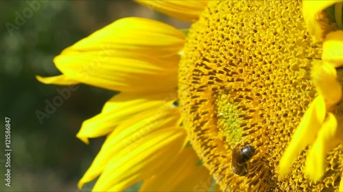 Keuken foto achterwand Paardebloem sunflower working bee bumblebee close up macro 4k honey pollen bees blue sky bright sunny weather close up 4k natural energy organic farming clean farm outdoors natural energy organic pure big flower