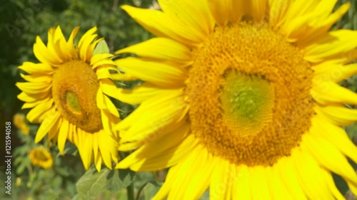 Keuken foto achterwand Paardebloem sunflower close up 4k natural energy yellow big flower sun summer time organic natural no GMO non modified genetically pure renewable energy power big petals healthy fresh blue sky bright sunny