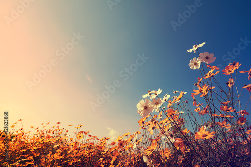 Poster Vintage landscape nature background of beautiful cosmos flower field on sky with sunlight in autumn