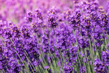 Fototapety Lavender blooming in the summer