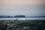Red deer with antlers on foggy field the in Belarus.
