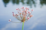 Inflorescence of a water plants called Flowering rush or grass rush (Butomus umbellatus) close-up - 121679493