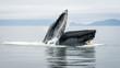 Humpback Whales in Alaskan Waters