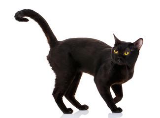 Bombay black cat on a white background
