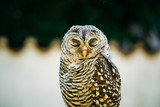 The Rufous-legged Owl , Strix Rufipes, Is A Medium Sized Owl With