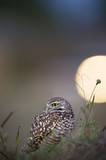 A Florida Burrowing Owl sits on the ground between some tall grass at dusk.  A car headlight appears in the background.