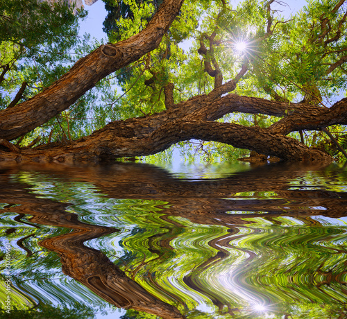 In de dag Cyprus Old huge rosewood tree with reflection. Cyprus