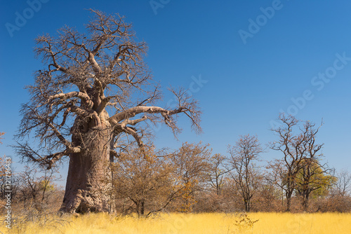 Papiers peints Baobab Huge Baobab plant in the african savannah with clear blue sky. Botswana, one of the most attractive travel destionation in Africa.