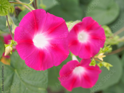 Fotobehang Roze Morning glory