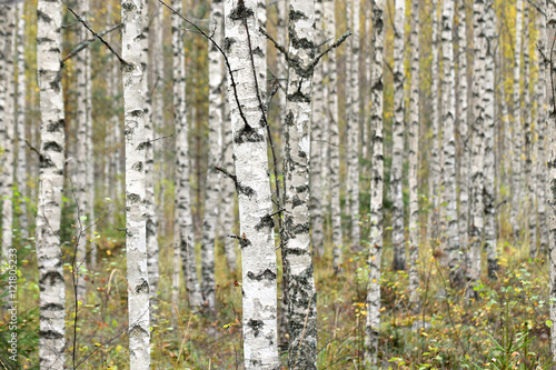 birches in autumn forest