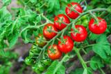 cherry tomato branch