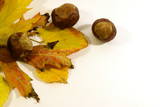 Chestnuts in autumn leaves