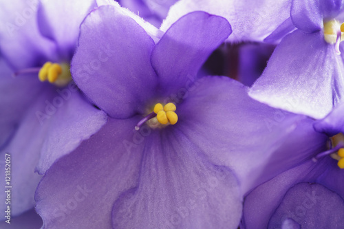 home violte flowers close up photo Poster