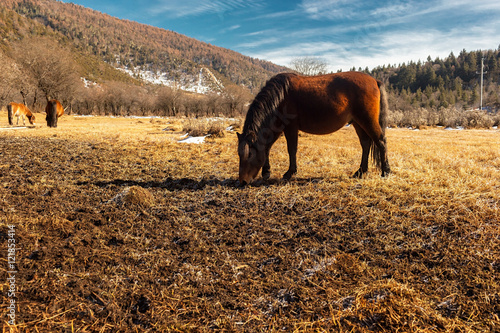 Horse grazing on pasture in Pudacuo National Park located at Shangri-La (Zhongdian), Yunnan, China.