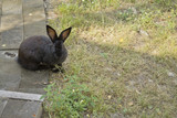Black fatty rabbit sits in the garden road