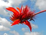 Fiore rosso selvatico con cielo estivo e nuvole bianche a fare da sfondo