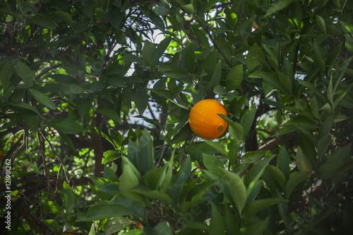 Poster orange tree