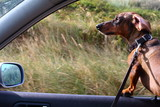 dachshund/ dachshund sticking his nose in the wind out of a car window