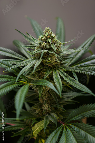 Cannabis_flower