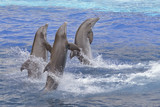 Three bottlenose dolphins (Tursiops truncatus) standing out of the water