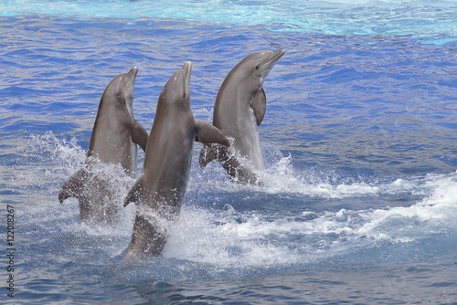 Aluminium Dolfijn Three bottlenose dolphins (Tursiops truncatus) standing out of the water