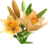 light orange lily bunch isolated on white